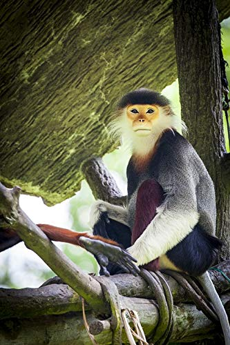Home Comforts Canvas Print Douc Langur Douc Monkey Vivid Imagery Stretched Canvas 32 x 24