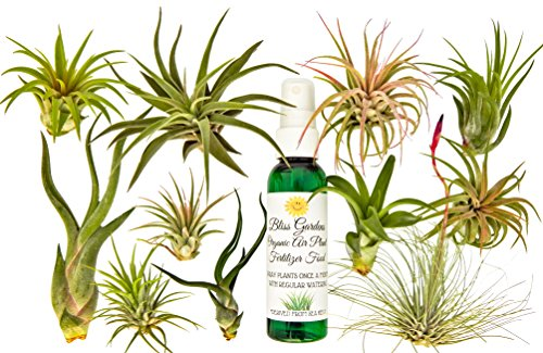 12 Pc Air Plant Tillandsia Starter Set By Bliss Gardens  Includes 11 Live Plants With 1 Bottle Of Organic Fertilizer Food