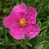 Sunset Rock Rose - Size: 2 Gallon - Live Potted Plants - Cistus 'Sunset'