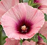Apricot Halo Hollyhock Seeds (Alcea Rosea) 50 Seeds UPC 600188191493 + 2 Plant Markers