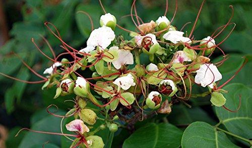 4 Intsia bijuga Seeds, Moluccan ironwood Seeds,Borneo teak Seeds