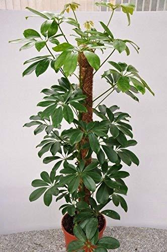 Dwarf Umbrella Tree Seeds Tropical Indoor/Outdoor Plant schefflera arboricola