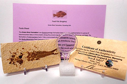 Fossil Display (Genuine Fossil Fish (Knightia) From Green River Formation, Wyoming USA with FREE Magnifying Glass, Acrylic Display Stand, Fact Sheet & COA Bundle.)