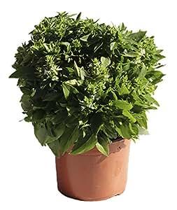 ALBAHACA - OCIMUM BASILICUM. Planta aromática natural, altura: 30 centimetros aproximado, contenedor 13-14cm. ENVIOS SOLO PENINSULA