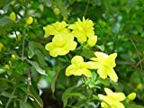 Primrose Jasmine - Japanese Jasmine - 1 Plants - 1 to 2 Feet Tall - Ship in 1 Gal Pot