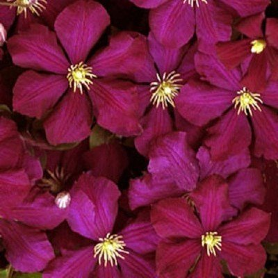 Amazon red wine clematis perennial vine 3 seeds flowering red wine clematis perennial vine 3 seeds mightylinksfo