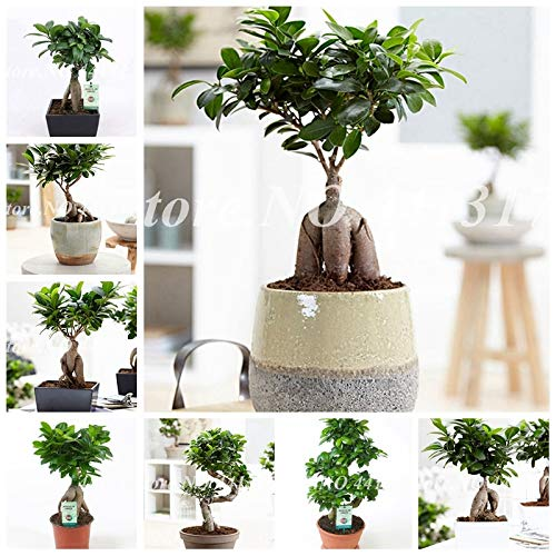 Go Garden Chinese Rare Ficus Microcarpa Tree 50 Pcs Evergreen Bonsai Potted Ginseng Banyan Home Garden Tree Outdoor Planting Easy to Grow: -