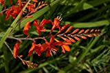 10 RED LUCIFER CROCOSMIA Crocosmia Masoniorum Flower Seeds