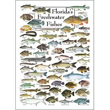 Poster florida 39 s freshwater fishes posters for Florida freshwater fishing license