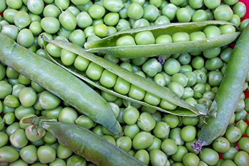 English Pea - Willet's Wonder English Pea - Very prolific and tasty! Green Sweet Peas!!!!Mmmmm(25 - Seeds)