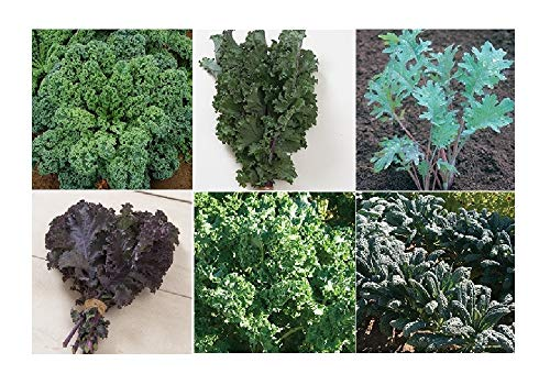 Curry Dip Recipe - David's Garden Seeds Collection Set Kale QZ7711 (Multi) 6 Varieties 2000 Seeds (Non-GMO, Open Pollinated, Heirloom, Organic)