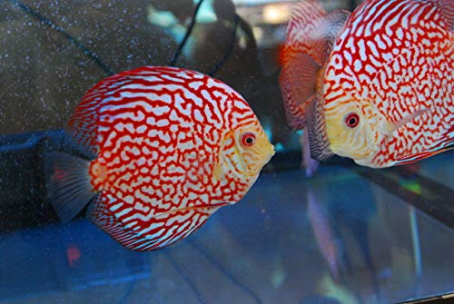 Pigeon Blood Discus, Extra Large, Beautiful Live Tropical Fish Discus Cichlid XL