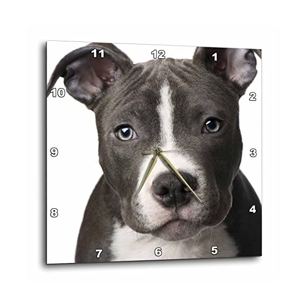 3dRose DPP_4240_3 American Pit Bull Terrier Puppy Wall Clock, 15 by 15-Inch 1