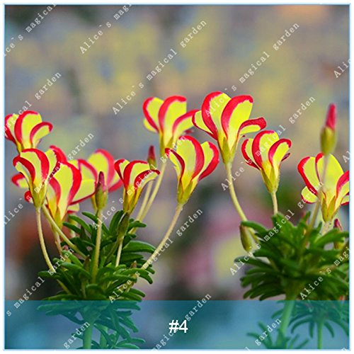 - ZLKING 2pcs True Oxalis Flower Bulbs Rare Oxalis Versicolor Candy Cane Sorrel Flower Rotary Grass Pot Home Garden Plant Bonsai 4