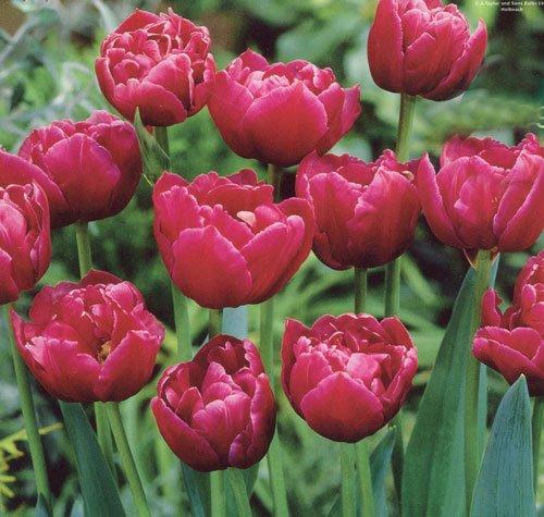 Tulip Margarita Bulbs (8 in Pack)
