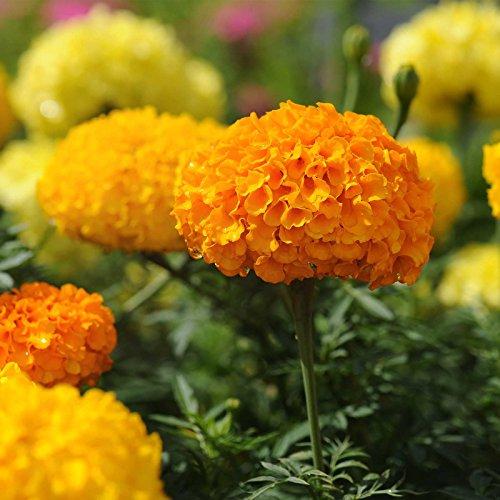 African Marigold Flower Garden Seeds - Crush Series F1 - Guy and Dolls Mix - 100 Seeds - Annual Flower Gardening Seeds - Tagetes erecta