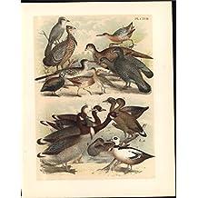 Dusky Canada Jay Sage Cock Corn Crake 1895 antique color lithograph Avian print