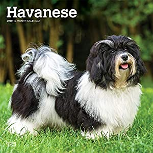 Havanese 2020 12 x 12 Inch Monthly Square Wall Calendar, Animals Small Dog Breeds 29