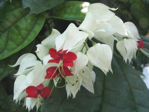 Live White Red Bleeding Heart Vine Plant Clerondendren thomsoniae - Heart Bleeding Vine Plant