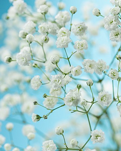 Virgin Seed Supply Baby's Breath 2050 Count Flower Seed Pack Organic Non-GMO Heirloom Variety