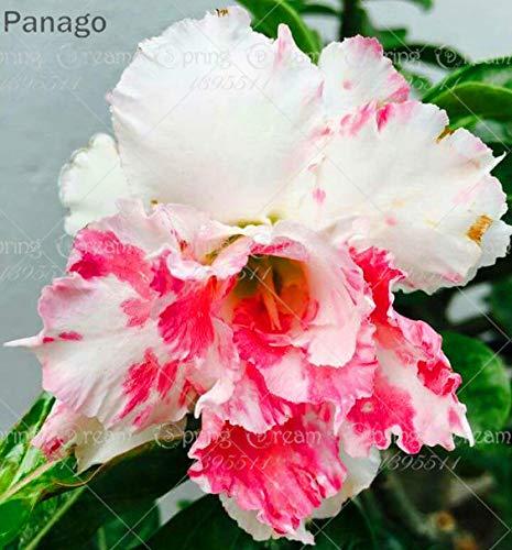Fash Lady 2 Pz Desert Rose Flower True Adenium Obesum Bonsai Fiore
