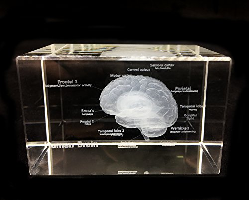 3D Human Brain Anatomical Model Paperweight(Laser Etched) in Crystal Glass Cube Science Gift (No Included LED Base)(3.1x2x2 inch)