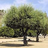 EUROPEAN OLIVE TREE - OLEA EUROPAEA 50 seeds by Tropical Oasis