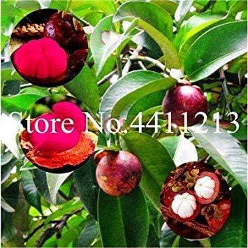 Pack Mangostan Bonsai Mangostan treetropical Obst Gourmet Anlagen f/ür Hausgarten Bonsai Obstbaum Pflanzen Ferry 100pcs