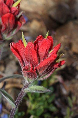 50 Red INDIAN PAINTBRUSH Castilleja Indivisa Flower Seeds by Seedville