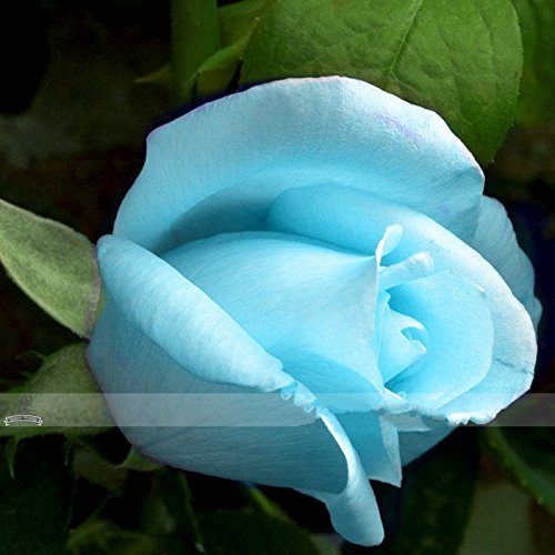 1 Professional Pack, 50 seeds / pack, F1 Light Blue Rose Plant Seed