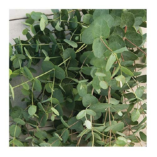 - David's Garden Seeds Flower Eucalyptus Silver Drop SL1505 (Green) 50 Non-GMO, Open Pollinated Seeds