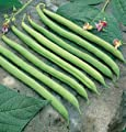 David's Garden Seeds Bean Bush Provider D010A (Green) 100 Organic Heirloom Seeds