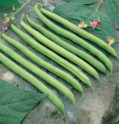 David's Garden Seeds Bean Bush Provider  - Blue Lake 274 Bean Snap Shopping Results