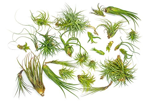 50 B-Grade Air Plant Variety Pack - Bulk Assorted Species of Live Tillandsia Tropical House Plants for Sale - 2 to 10 Inches Each - Air Plants for Indoor Home Decor