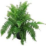 Delray Plants Macho Fern in Pot