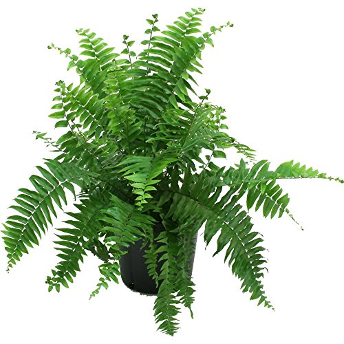 Delray Plants Macho Fern in Pot