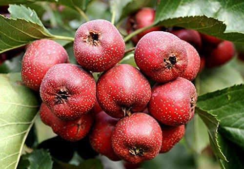 Chinese hawthorn Crataegus pinnatifida tree Edible fruit-40+ seeds