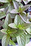 "Peppermint Herb Plant - Very Fragrant - Mentha - 3.5"" Pot"