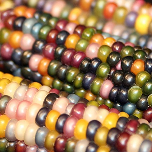 Bornbayb 100 Pcs/Pack Sweet Corn Seeds Non-GMO Seeds Indian Fruit Corn Seeds, 4 Varieties