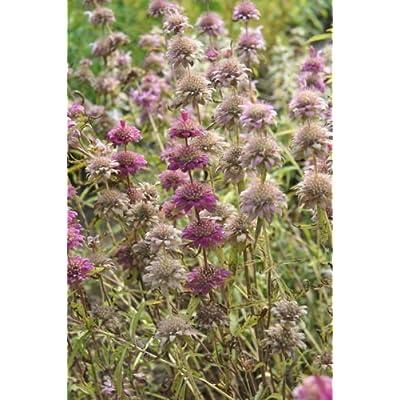 Monarda citriodora LEMON BEE BALM Perennial Seeds! : Garden & Outdoor