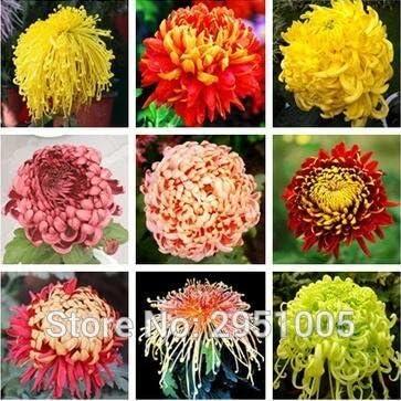 50 Unids/lote Semillas de Crisantemo Mixtas Semillas de Bonsai Bonitas Semillas de Flores Jardín de Bricolaje: Amazon.es: Jardín