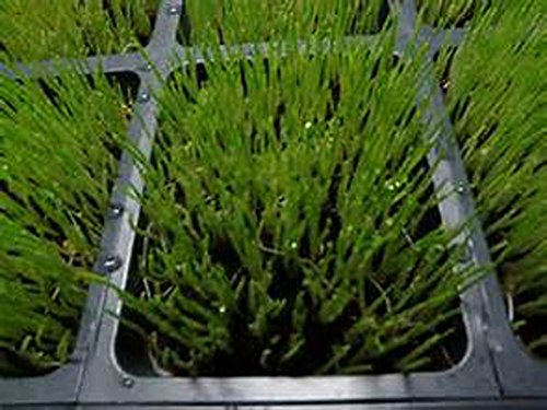 Wheatgrass, Microgreen, Sprouting, 4 OZ, Organic Seed, NON GMO - Country Creek LLC Brand - High Sprout Germination- Edible Seeds, Gardening, Hydroponics, Growing Salad Sprouts