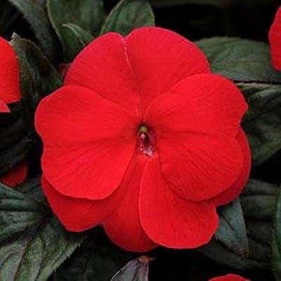 Divine Bronze Leaf Scarlet & Orange New Guinea Impatiens 20 Seeds Both Stunning