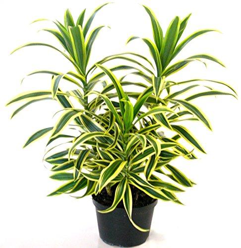 Nelesa Gardening Live Dracaena Reflexa Plant