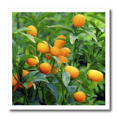 3dRose Kumquat Fruit Tree, Agriculture NA01 PRI0002 Prism...