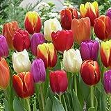 Van Zyverden Tulips Triumph Mixture Set of 25 Bulbs