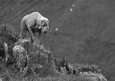 Weimaraner (3) - Amazing poster con cane - Puppy - lovely - migliore ...