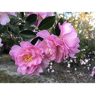 Pink Snow Camellia Sasanqua - Live Plant - Quart Pot : Garden & Outdoor
