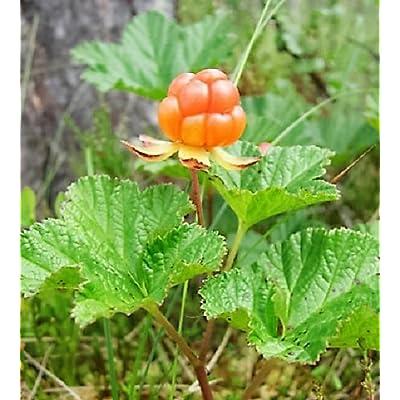 SVI 10 Cloudberry Bake Apple Berry Rubus chamaemorus Fruit Seeds Combined : Garden & Outdoor