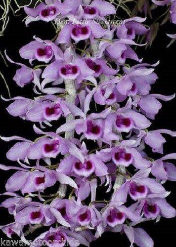 Den. Little Sweet Scent x Den. Super nestor 'Alba' NEW! Fragrant hybrid! Orchid Plant (Care Orchid Dendrobium)